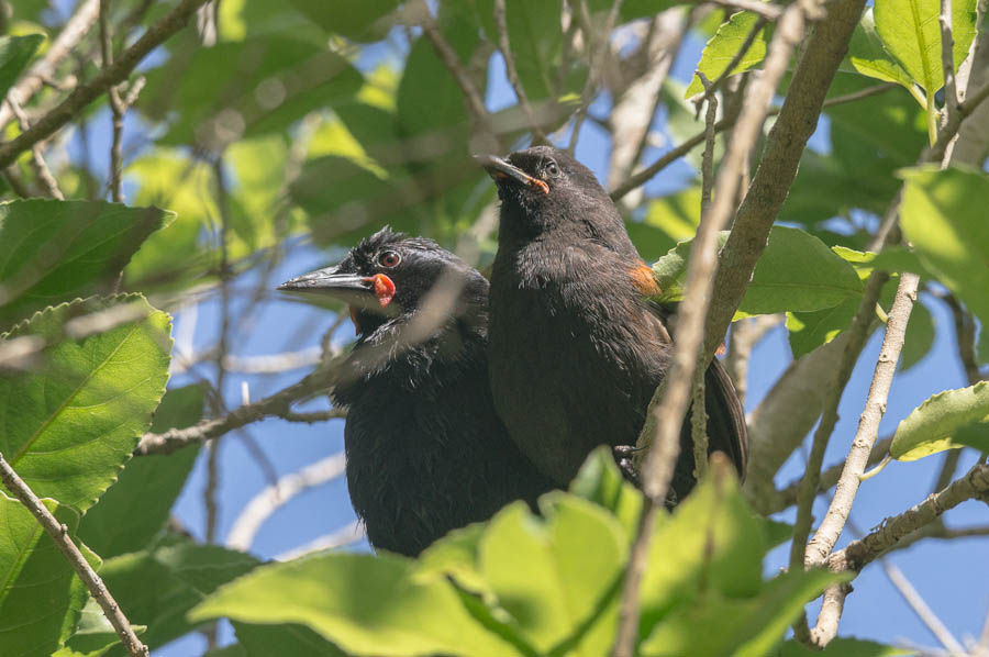 Saddleback, Tieke, Philesturnus carunculatus, New Zealand