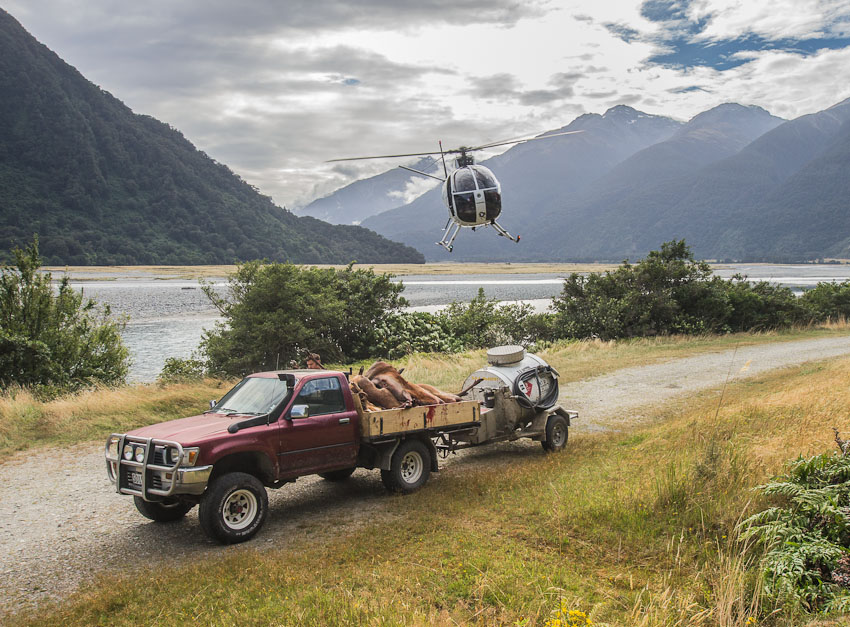 Wild Deer Recovery from a Helicopter, West Coast, New Zealand