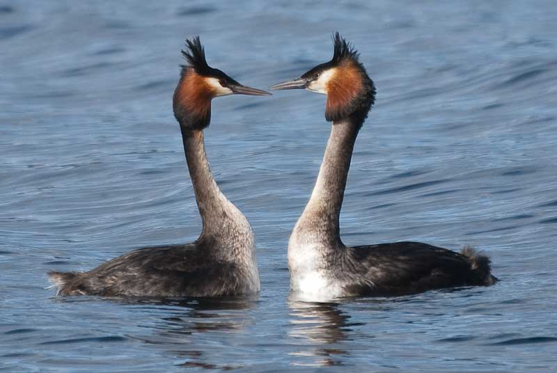 Australasian Crested Grebe on Lake Te Anau