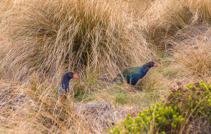 Takahe in tussock, Murchison Mountains, New Zealand