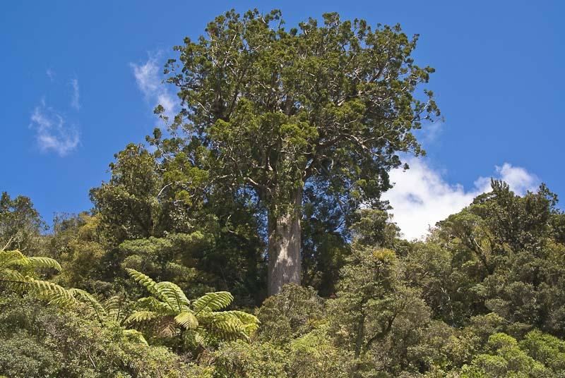 Omahuta Kauri Sanctuary Walk: Walking and tramping in Puketi and ...