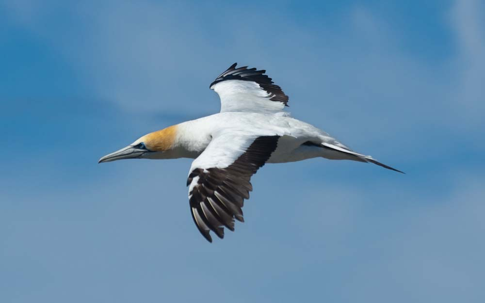 Gannet at Muriwai, New Zealand