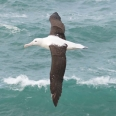 Northern Royal Albatross,Toroa, Diomedea sanfordi | photography