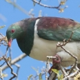 New Zealand Pigeon, Kereru, Hemiphaga novaeseelandiae | photography