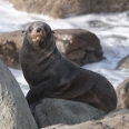 New Zealand fur seal, Kekeno, Arctocephalus forsteri | photography