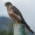 New Zealand Falcon, Karearea | photography