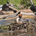 Crested Grebe nesting on Lake Te Anau, New Zealand | photography