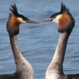 Australasian Crested Grebe on Lake Te Anau | photography