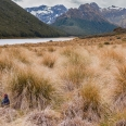 Takahe in Takahe Valley, Murchison Mountains, New Zealand | photography