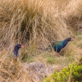 Takahe in tussock, Murchison Mountains, New Zealand | photography