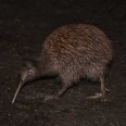 Stewart Island Brown Kiwi, Tokoeka, New Zealand | photography