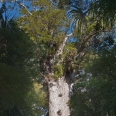 Tane Mahuta - largest kauri tree, Waipoua Forest, New Zealand | photography