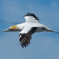 Gannet at Muriwai, New Zealand | photography